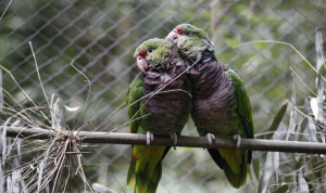 papagaio 1