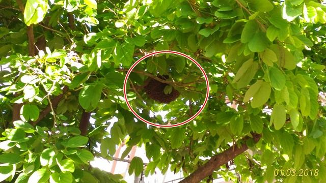Abelhas estão numa árvore do canteiro central e devem ser removidas a noite. Foto: Evandro Artuzi/RBJ